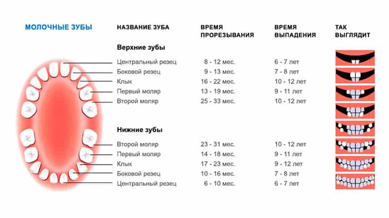 схема прорезываия и выпадения молочных зубов